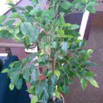 デイサービスここけあ練馬豊玉で自慢の観葉植物を紹介します